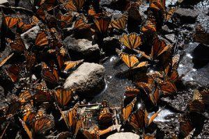A flutter of butterflies drinking from a river
